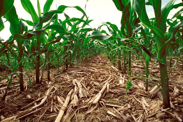 no-till corn field